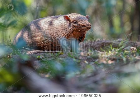 Armadillo in the nature habitat of brazilian forest, euphractus sexcinctus, amazing creature, south american wildlife, beauty of nature, wild in pantanal