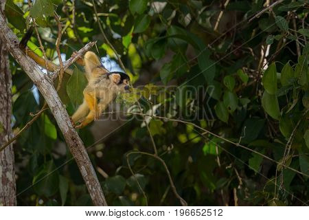 Wild capucin monkey close up in the nature habitat, wild brasil, brasilian wildlife, pantanal, green jungle, south american nature and wild