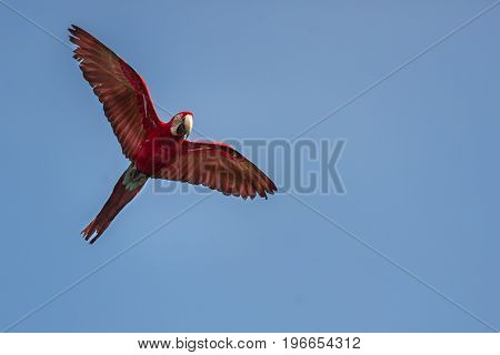 Green-winged macaw in the nature habitat. Ara chloropterus. Amazon wildlife and beauty on the sky and jungle. Wild nature in South America.