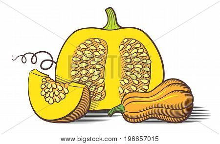 Stylized image of pumpkins. Pumpkin cut with seeds pumpkin slice and butternut squash. Colored vector illustration