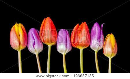 Seven Tulip heads all in a Row and of varied Colours.