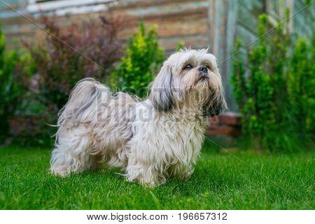 Shih tzu dog standing in summer green garden