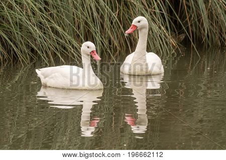 Pair of coscoroba swans (Coscoroba coscoroba). Smallest swan from South America in the family Anatidae subfamily Anserinae