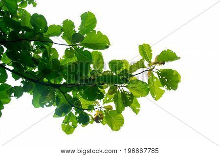 green leaf Teak tree on the branches isolate on white background