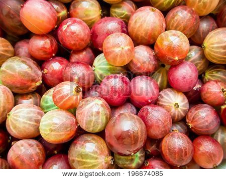 Tasty red juicy gooseberry. Delicious summer berries.