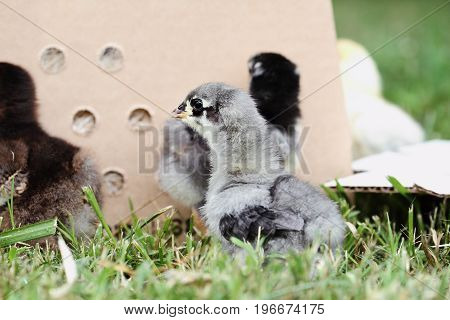 Mail ordered baby Blue Cochin chick beside a packing box. Extreme depth of field with selective focus on the little chick in foreground.