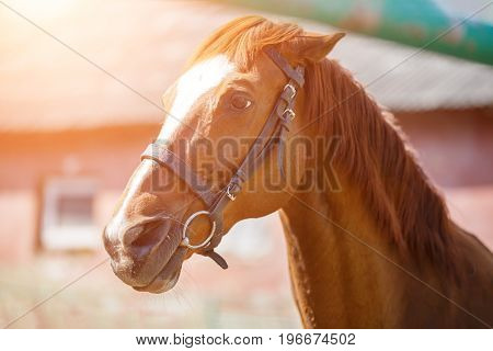 Head portrait of sorrel horse with bridle on at sunny day