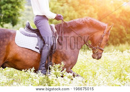 Bay stallion with rider girl at camomile field