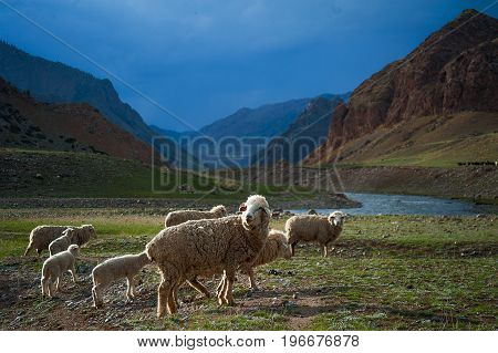 A herd of sheep cross the field, a mountain river, blue sky