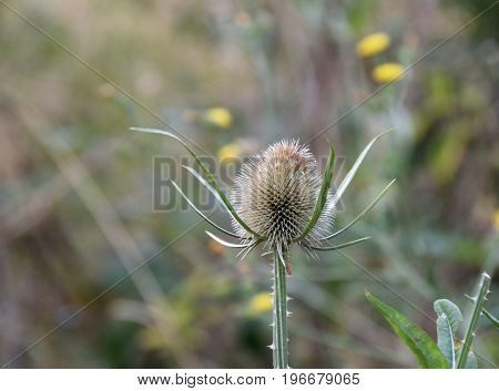 Inflorescence head of the teasel on the uncultivated field