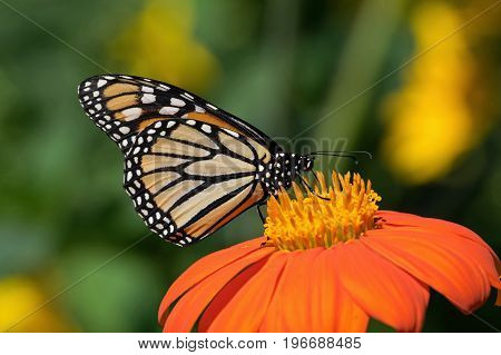 Monarch butterfly on Tithonia diversifolia or Mexican sunflower. The monarch is a milkweed butterfly in the family Nymphalidae and is threatened by severe habitat loss in much of the USA.