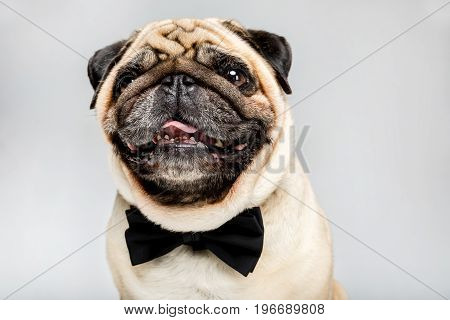 Studio Shot Of Funny Pug Dog In Bow Tie, Isolated On Grey