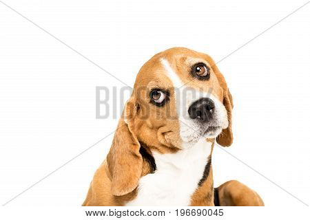 Portrait Of Cute Funny Beagle Dog, Isolated On White