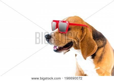 Portrait Of Stylish Beagle Dog In Red Sunglasses, Isolated On White
