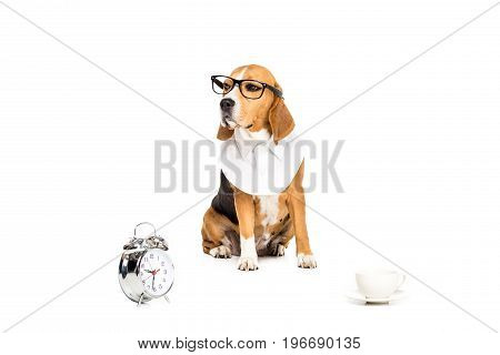 Beagle Dog In Eyeglasses Sitting Near Alarm Clock And Coffee Cup, Isolated On White