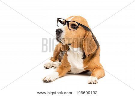 Sad Beagle Dog In Eyeglasses Lying And Looking Away, Isolated On White
