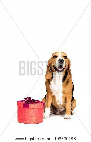 Beagle Dog Sitting With Red Present Box, Isolated On White