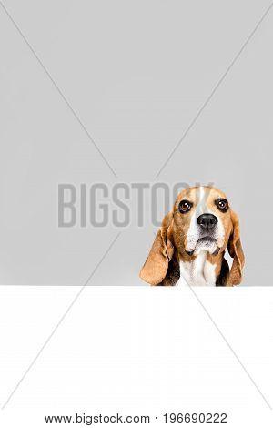 Beagle Dog With White Empty Blank, Isolated On Grey