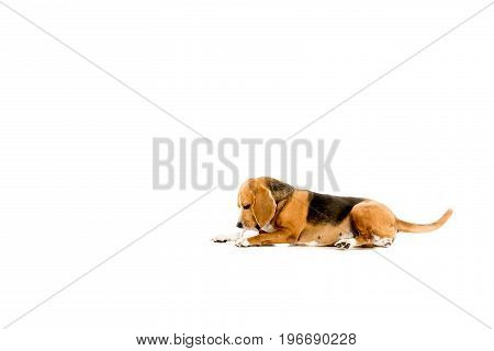 Beagle Dog Lying And Playing With Ball, Isolated On White