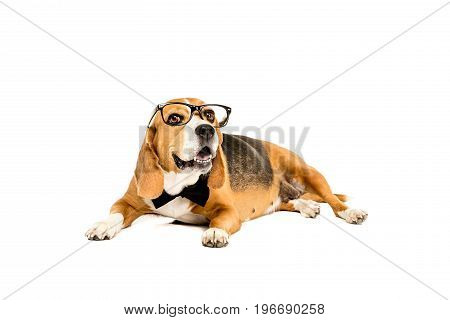 Funny Beagle Dog Lying In Eyeglasses And Bow Tie, Isolated On White