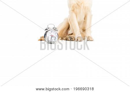 Low Section Of Golden Retriever Dog Sitting Near Alarm Clock, Isolated On White