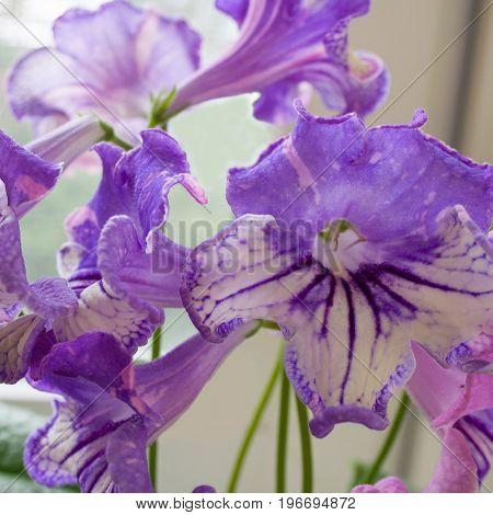 Decorum plant beautiful Streptocarpus flowers. Sort DS-Machaon