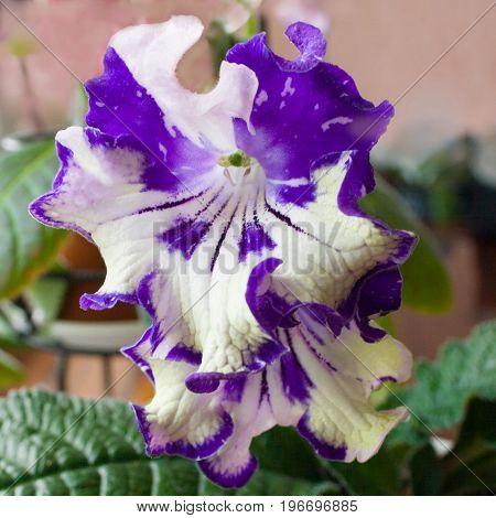 Decorum plant beautiful Streptocarpus flower. Sort DS-Meteor Shower