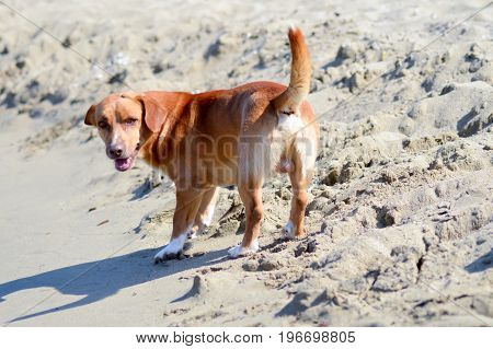 Red dog in front of the waves of the ocean on the island of Crete