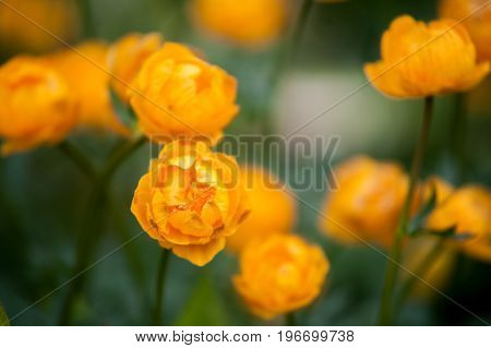 Field of yellow water lilies, yellow, orange flowers. Artistic processing. Summer background. Flower patern.