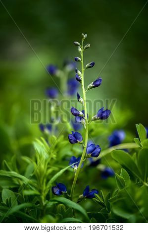 Blue lupine. Small blue flowers against a dark green grass. Floral summer background
