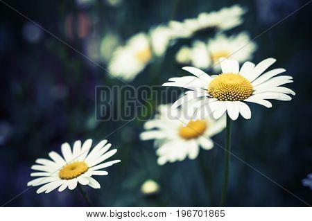 Chamomiles, Summer Flowers Background Photo