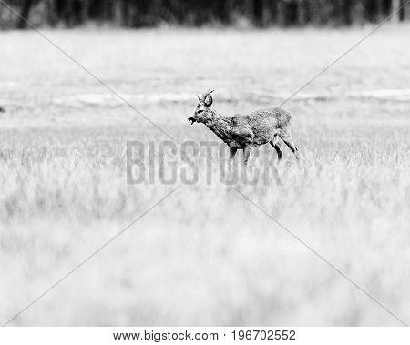Old Black And White Photo Of Feeding Roe Deer Buck Standing In Meadow.