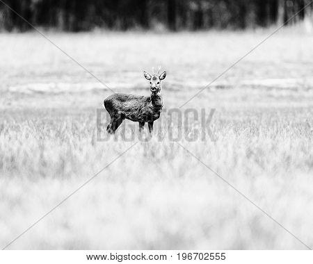 Old Black And White Photo Of Alert Roe Deer Buck Standing In Field.