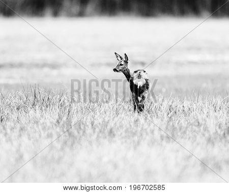 Old Black And White Photo Of Roe Deer Doe Standing In Meadow Looking Aside.