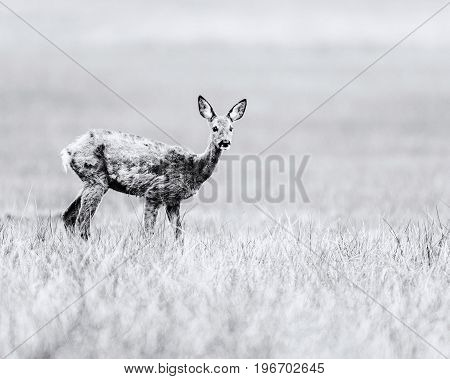 Old Black And White Photo Of Roe During Moult Standing In Field. Alert Looking.