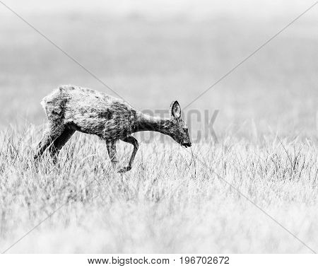 Old Black And White Photo Of Roe Deer Doe Walking In A Meadow Looking For Food.