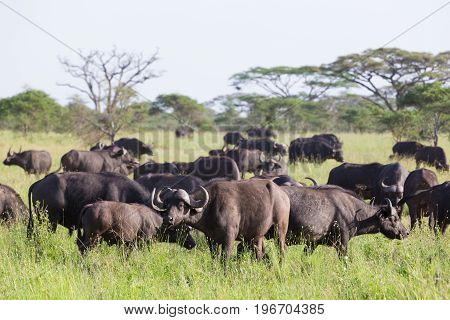 African Buffalo or Cape buffalo, Syncerus caffer, herd in the Ngorongoro Crater national park, Tanzania.