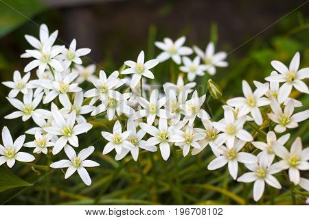 Ornithogalum flowers closeup (Star of Bethlehem) in spring