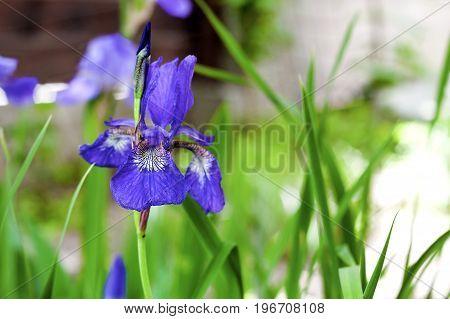 Blue Siberian iris flower closeup on green garden background