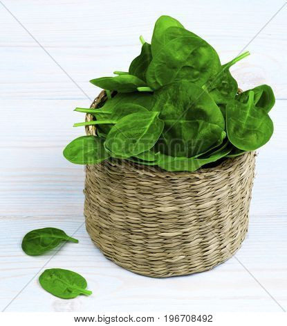 Arrangement of Small Raw Spinach Leafs in Wicker Cask closeup on Light Blue Wooden background