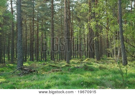 Forest In Scotland In Spring