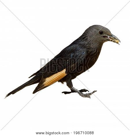 Small black Bird jackdaw eats bread in his beak close up isolated on white background
