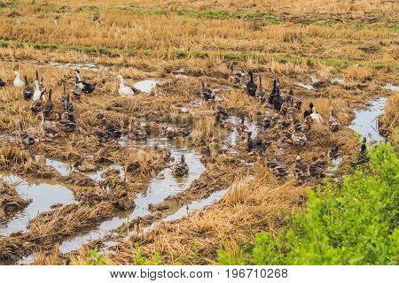 Flock Of Ducks Forage Food In Rice Field
