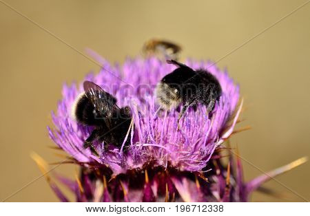 Artichoke flower with bumblebees in foreground, onopordum carduelium poster