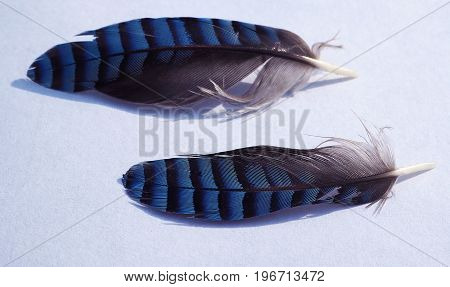 Two Blue Jay Little Feather
