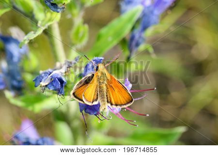 this is a Butterfly on Bugloss, butterfly