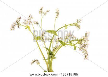 Buckwheat plant isolated over white background