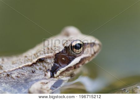 Brown Frog in nature water