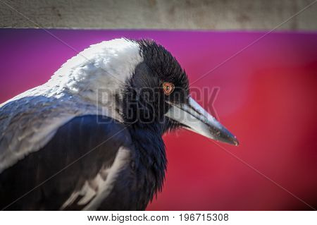 Portrait closeup of Australian Magpie on blurred red background