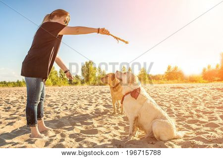 Two dog labrador head outdoors in nature performs a command to sit. Two dogs and a young woman on the beach. Sun flare